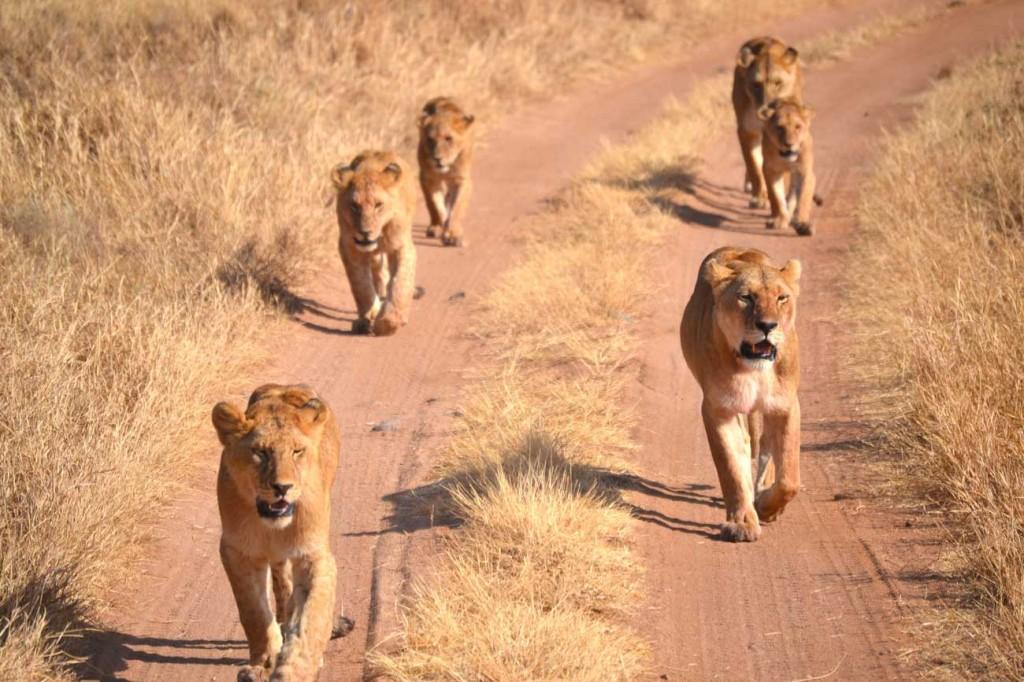Troep leeuwen in de Serengeti