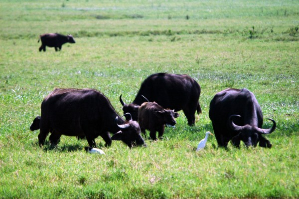 Buffels in Arusha NP