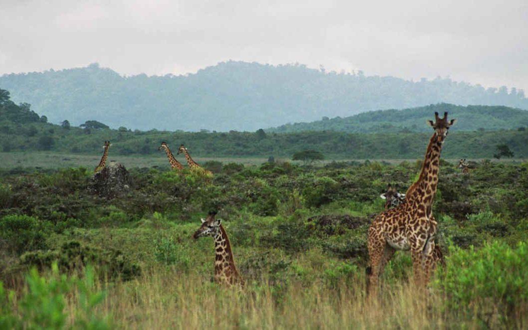 Arusha NP, heeft de hoogste giraffe dichtheid van de Tanzaniaanse parken. Tijdens een wandelsafari zie je pas hoe hoog deze gracieuze dieren op de poten staan.