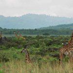 Arusha NP giraffes