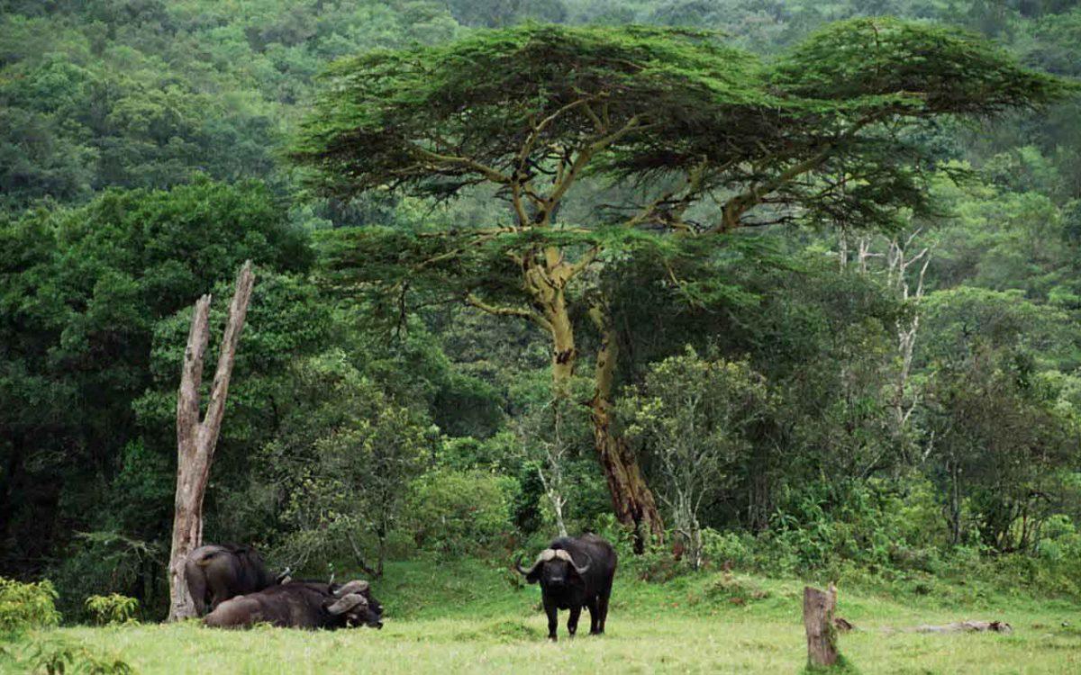 Arusha NP is een van de weinige parken waar u een wandelsafari in het park onder begeleiding van een gewapende ranger kunt maken. Buffels tijdens walking safari zijn buitengewoon indrukwekkend!