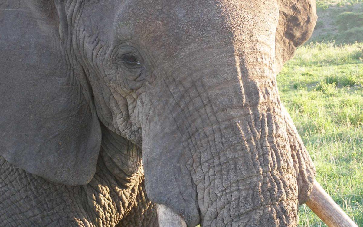 Tanzania, Tarangire NP oog in oog met olifant