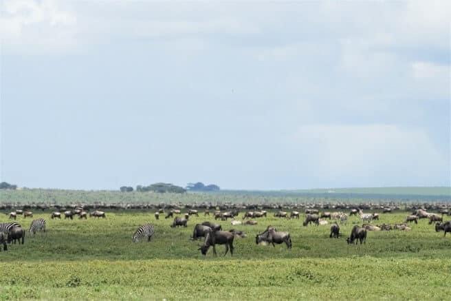 Great migration kuddes zuidelijke Serengeti