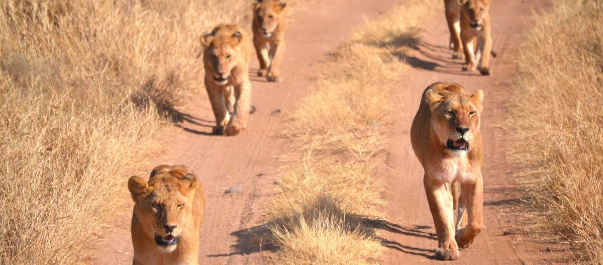 Leeuwen in de Serengeti