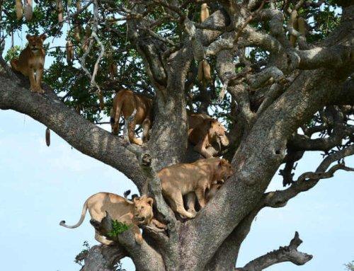 Boomklimmende leeuwen alleen in Lake Manyara NP?