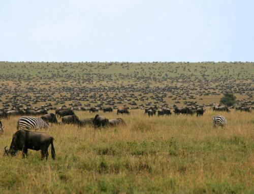 Safari:  Kerst in de Serengeti, Oud en Nieuw op de eilanden van Zanzibar