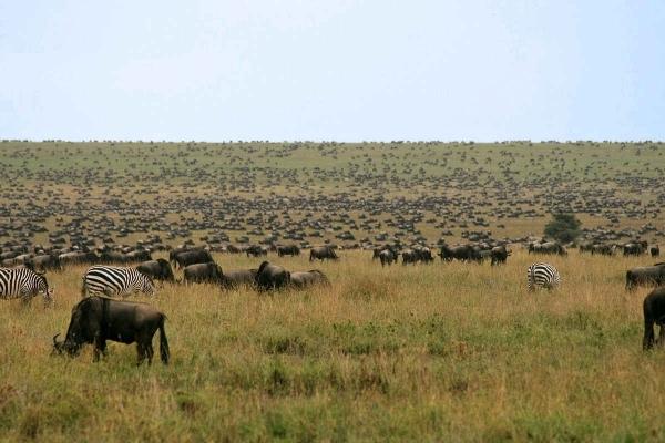 Gnoes op de Serengeti vlaktes in december