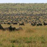 Migration op de Serengeti vlaktes