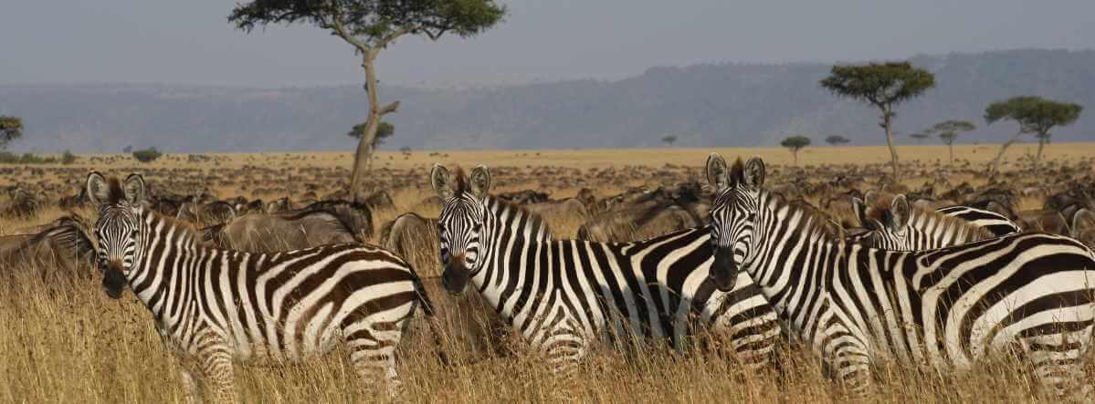 Migration zebra's en gnoe's