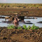 Manyara nijlpaarden