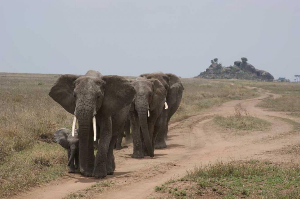 Tanzania, Serengeti, olifanten bij kopjes