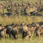 Serengeti geboortes