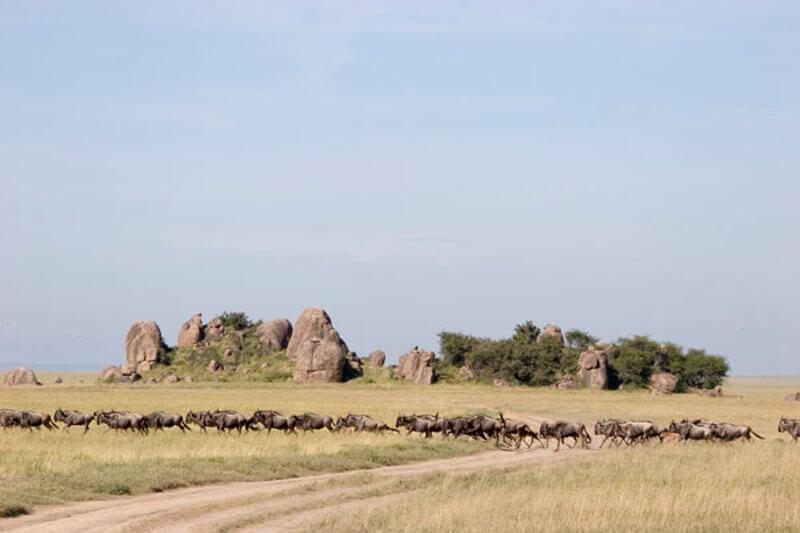 Serengeti wildebeest bij kopjes
