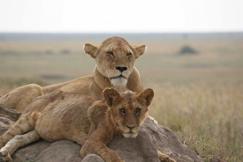 Tanzania leeuwen