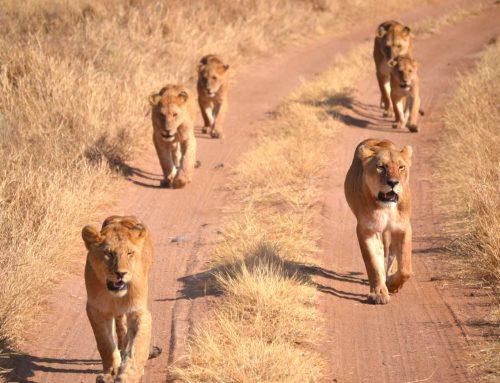 Tent safari Tanzania – Lucas, Carolien, JoAn (16), Lisa (16) en Maarten (13). Overall: 9